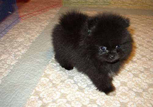 Gorgeous Toy Pomeranian Puppy Pure Black Girl 12 Weeks Old