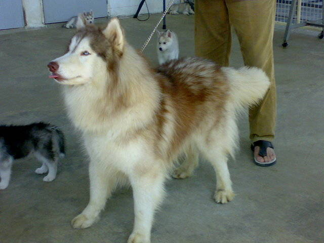 for sale siberian husky puppies FOR SALE ADOPTION from Karnataka Bangalore Urban @ Adpost.com ...