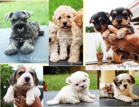Adorable puppies for good homes FOR SALE ADOPTION from Selangor Subang