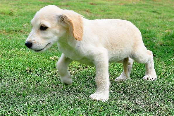 Mixed Toy Breeds American Spitzniel Puppies FOR SALE ADOPTION from