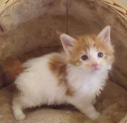 Maine Coon Cats For Sale Dallas Texas