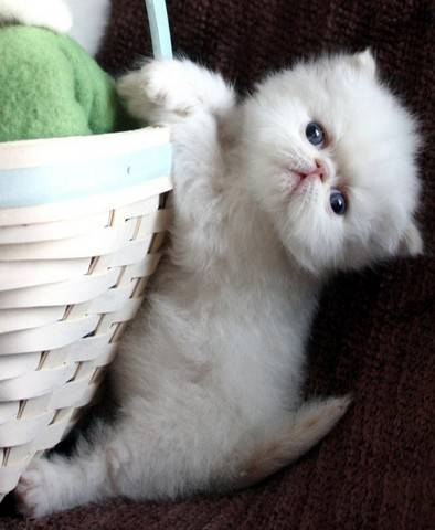 Gorgeous Cfa Persian Kittens For Sale Adoption From