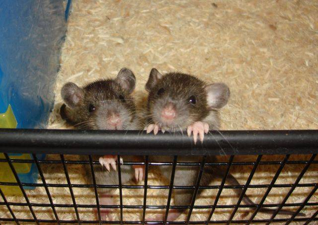 Cute Baby Rats For Sale Adoption From Oceanside California