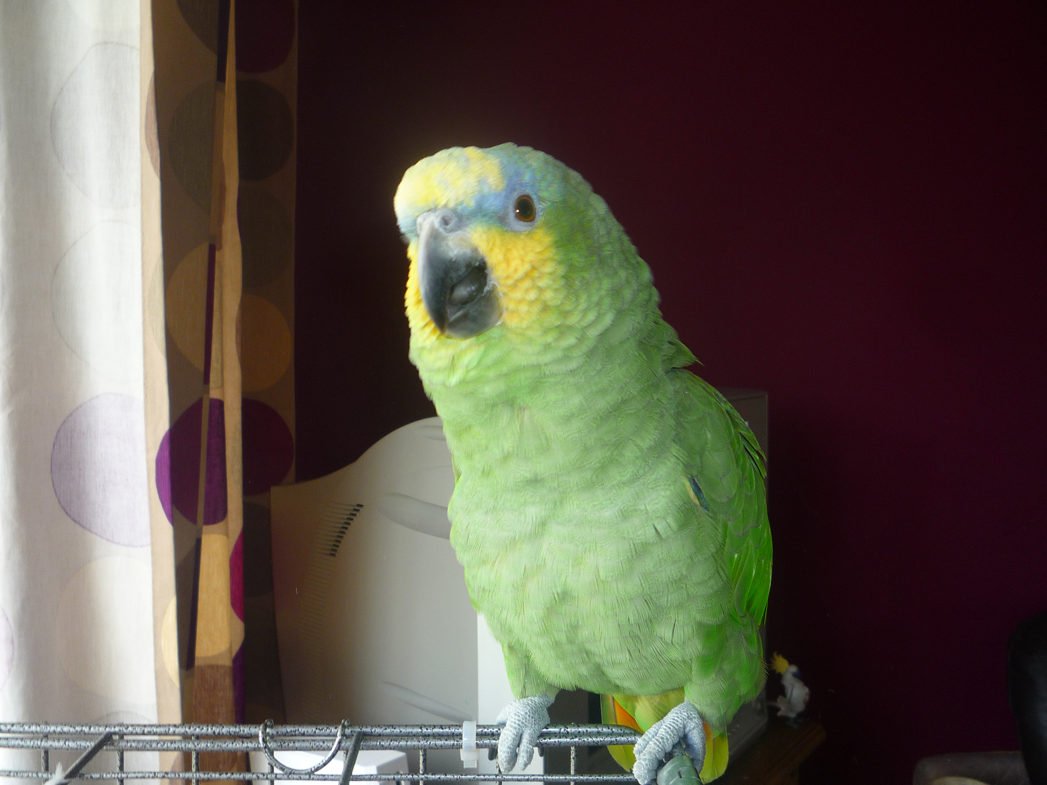 WANTED: amazon parrot must be tame