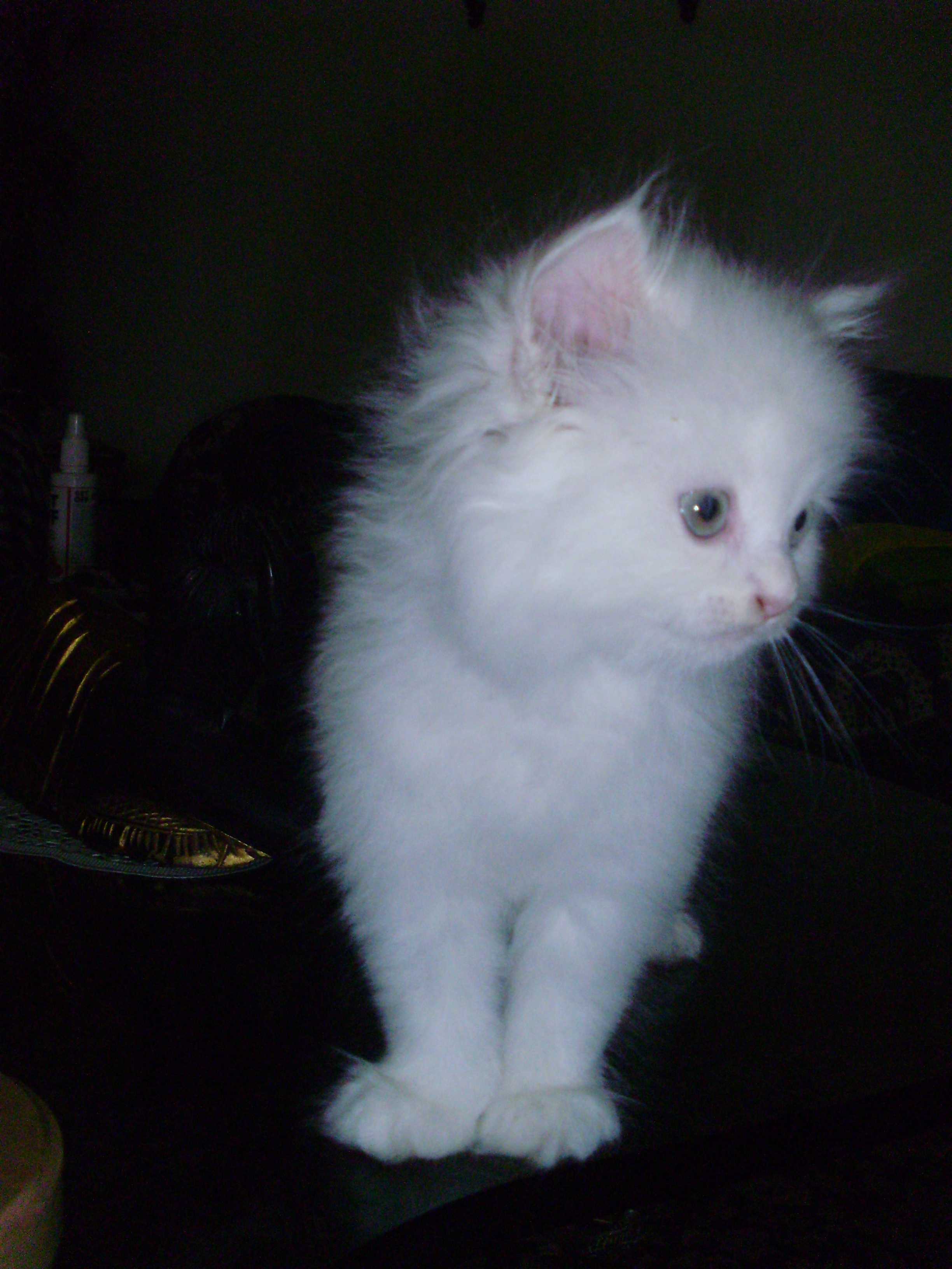Persian kitten for sale in Bangalore at best price