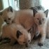 FOR SALE / ADOPTION: SIAMESE KITTENS   Ready to Go