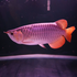 FOR SALE / ADOPTION: Buy Colorful arowana fishes on sale to fish hobbyists