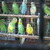 WANTED: wanted birds for sale in chennai