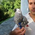 FOR SALE / ADOPTION: African Grey Congo Parrots (pure) nice colors
