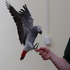 FOR SALE / ADOPTION: African Grey Congo Parrots (talking) already ready to go