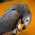 FOR SALE / ADOPTION: African Grey Congo Parrots (talking) come and pickup