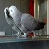 FOR SALE / ADOPTION: African Grey Congo Parrots (talking) come and see