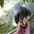 FOR SALE / ADOPTION: African Grey Congo Parrots (talking) large