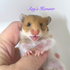 FOR SALE / ADOPTION: Satin Syrian Hamster Baby