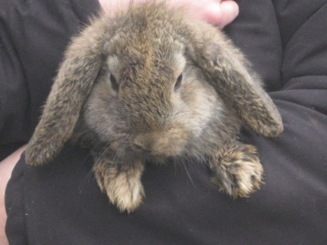 FOR SALE / ADOPTION: baby dwarf lop rabbits camberley surrey