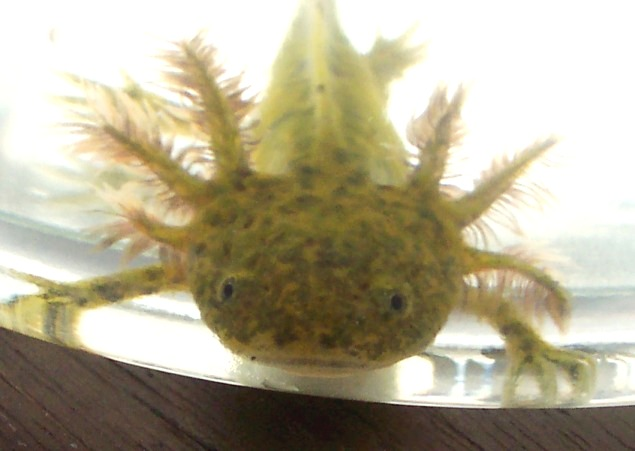 FOR SALE / ADOPTION: Baby Axolotls Ready To Go (Lanc's)