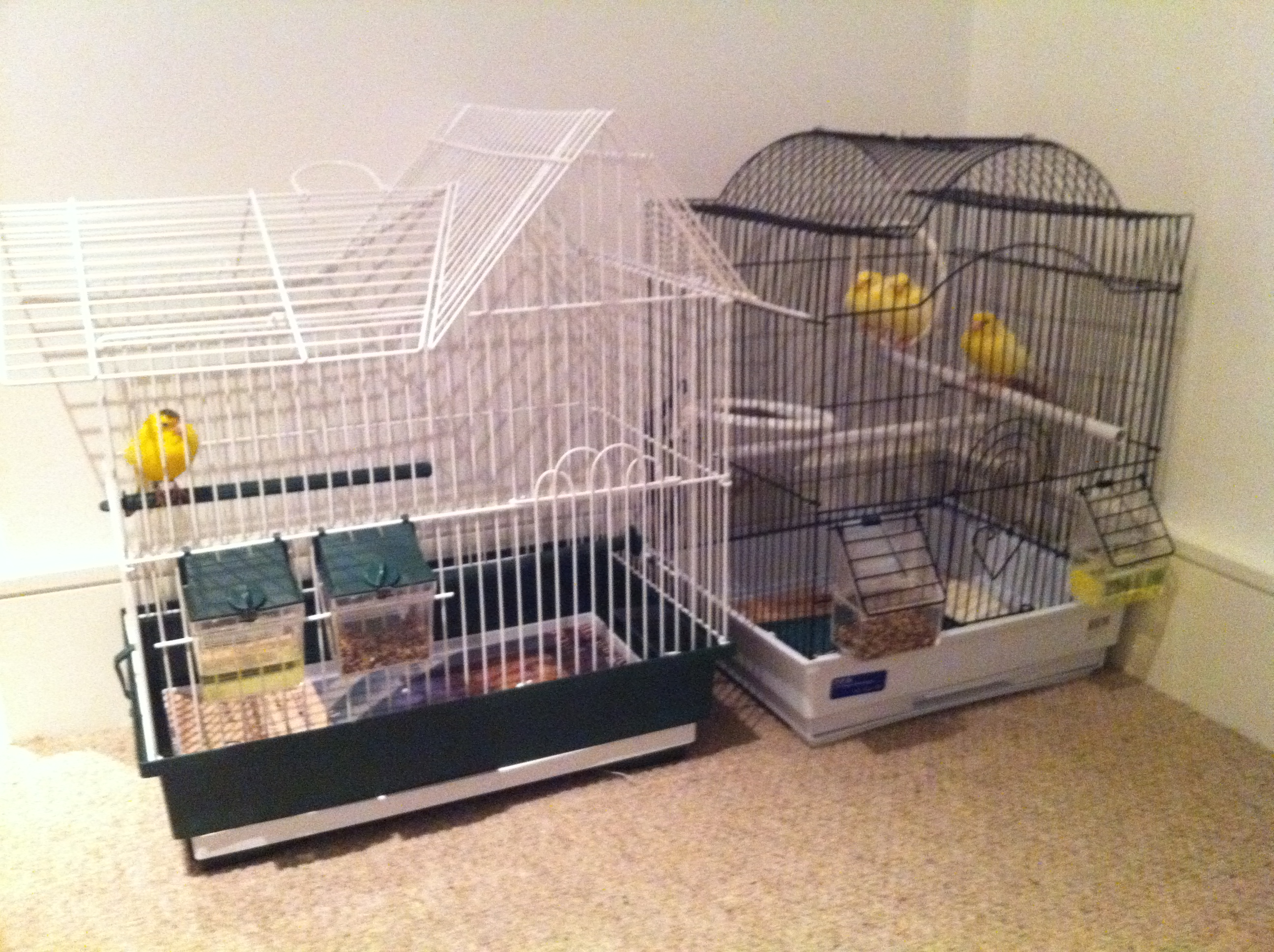 FOR SALE / ADOPTION: 4 Canaries for sale