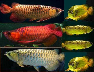 FOR SALE / ADOPTION: chili red arowana fish for sale