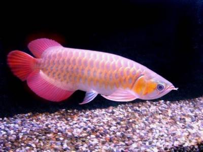 FOR SALE / ADOPTION: Imperial Arowana Gold Dragon Fish for Sale