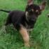 FOR SALE / ADOPTION: Adorable German Shepherd Puppies