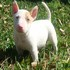 FOR SALE / ADOPTION: Pure White Bull Terrier Puppies