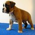 FOR SALE / ADOPTION: Boxer Puppies, Male/Female Available