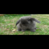 FOR SALE / ADOPTION: Sweet Holland Lop