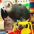 FOR SALE / ADOPTION: Tame talking African grey male and female