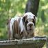 FOR SALE / ADOPTION: AKC Home Raise Male English Bulldog Puppy For Sale.