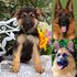 FOR SALE / ADOPTION: Seeking For Best Champion Bloodline German Shepherd Puppies for Sale